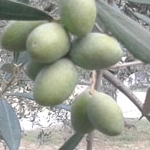 00 olive oil