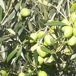 05 natural oil olive