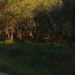 09 olive oil lucca