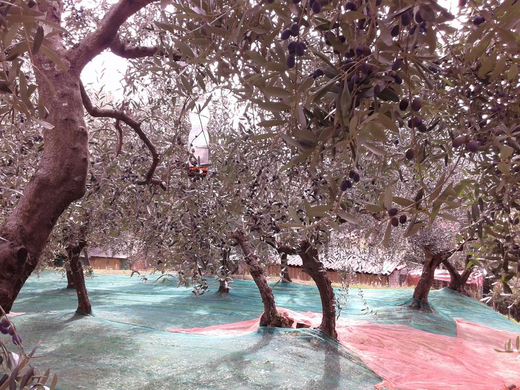 15 olio oliva italiano
